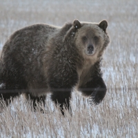 Grizzly bear sightings have extended well beyond their typical mountain range. Here, a grizzly bear walks through a stubble field. Credit: Angela Carter